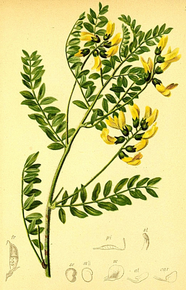 Botanical drawing of a plant in the  Astragalus  genus, a member of the pea family (Fabaceae).
