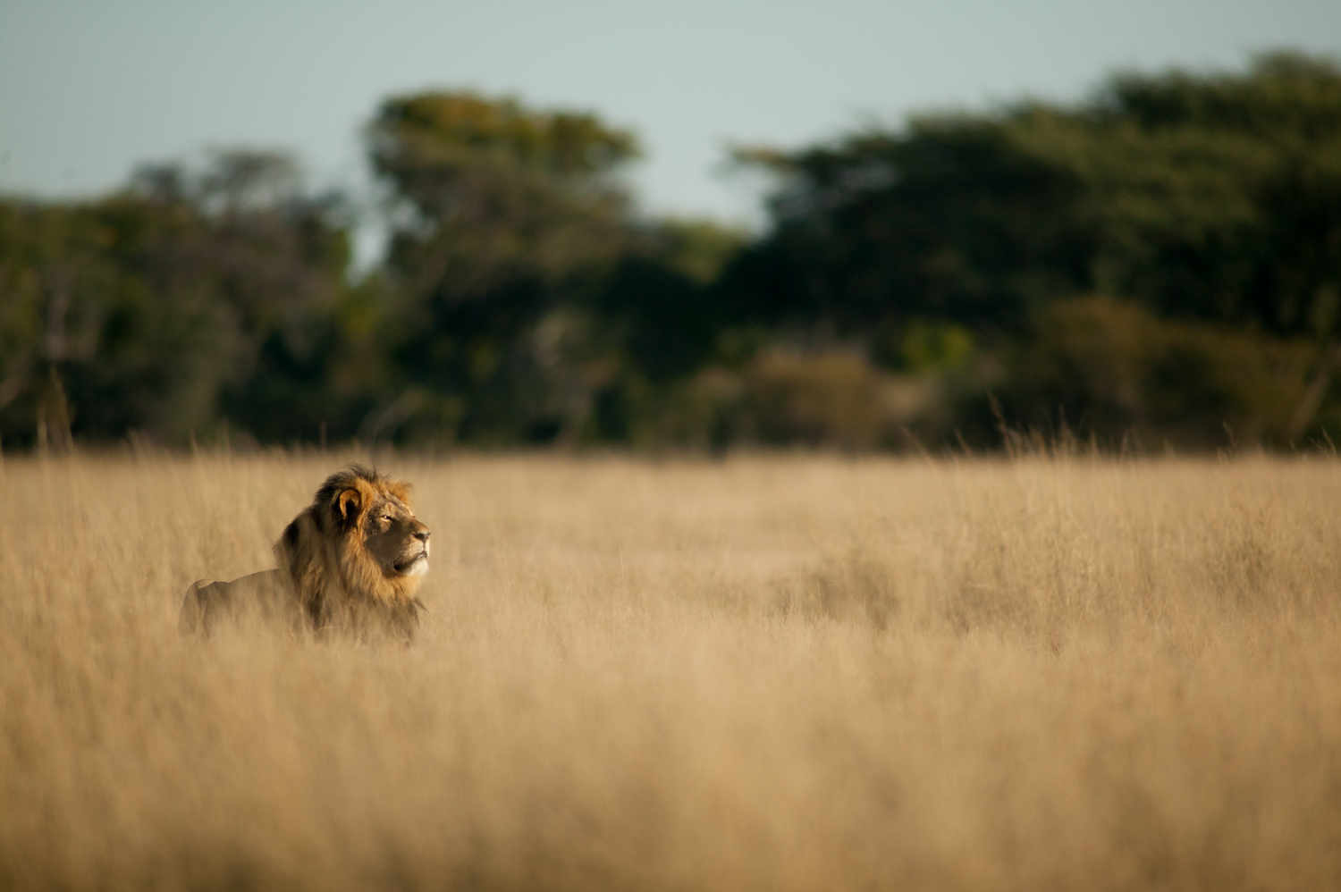 Image above: ©Brent Stapelkamp, Cecil taking the air: This image was taken on the last morning that Brent ever saw Cecil. He and Jericho were interested in something on the other side of the railway line. May 27, 2015 / Courtesy of Anastasia Photo
