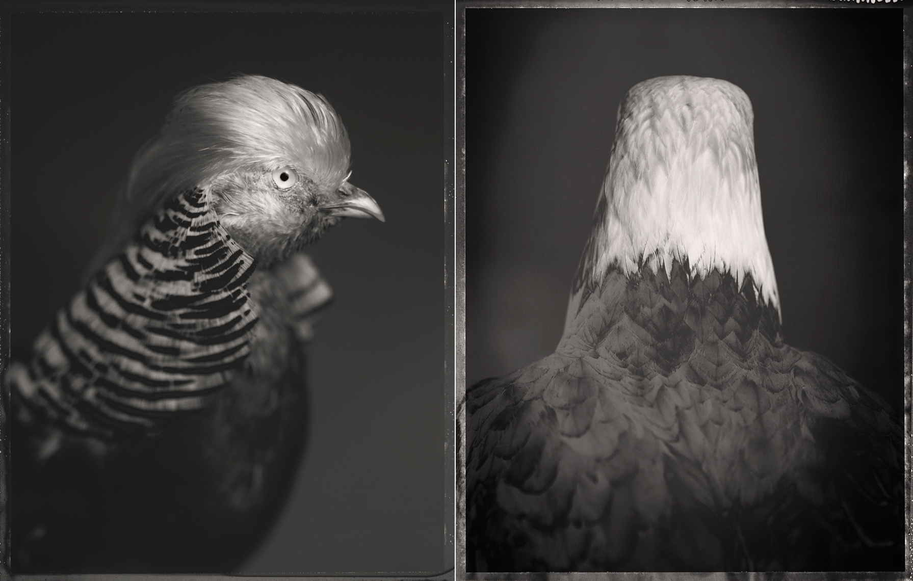 © David Ellingsen,  Golden Pheasant, Bald Eagle