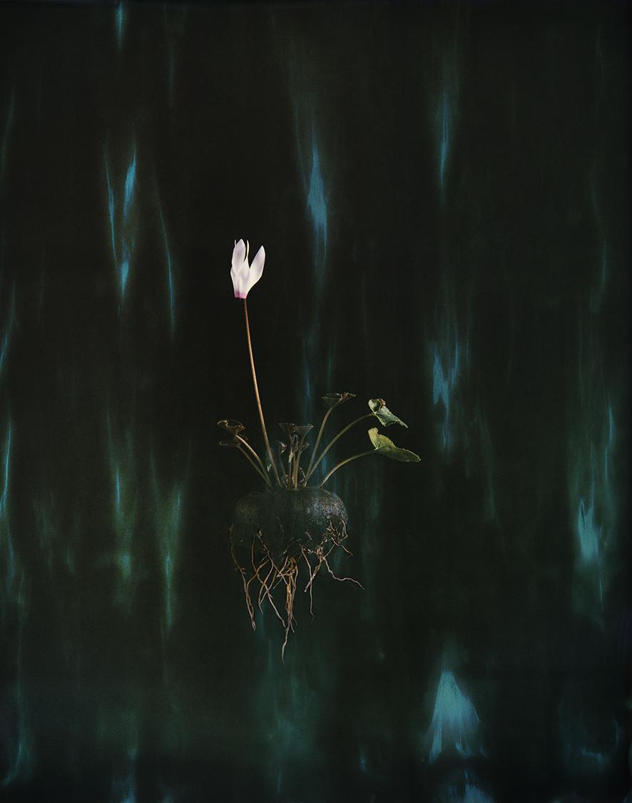 """Cyclamen 04P"", 2018  Copyright Ori Gersht. Courtesy of the artist and Yancey Richardson."