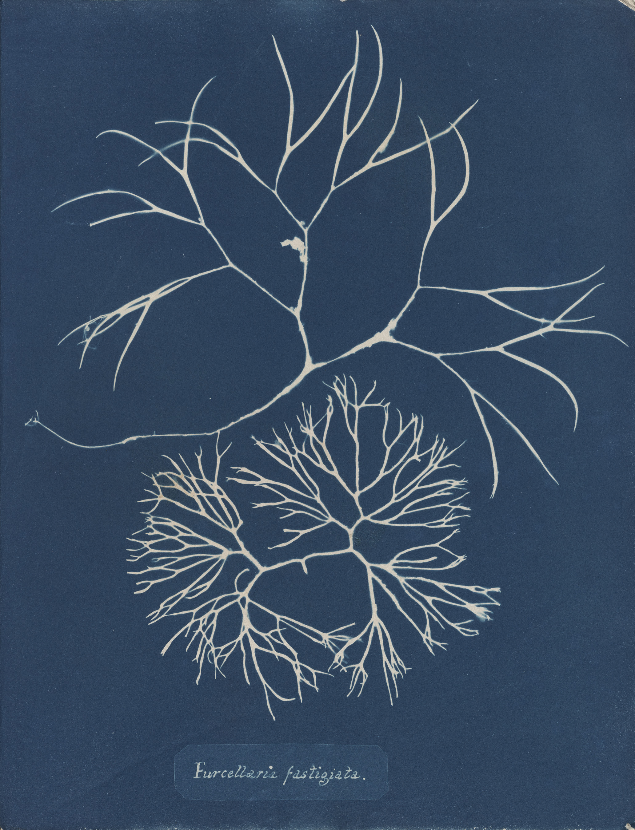 © Anna Atkins (1799–1871), Furcellaria fastigiata, from Part IV, version 2 of Photographs of British Algae_ Cyanotype Impressions, 1846 or later, cyanotype. Spencer Collection, The New York Public Library, Astor, Lenox and Tilden Foundations..jpg