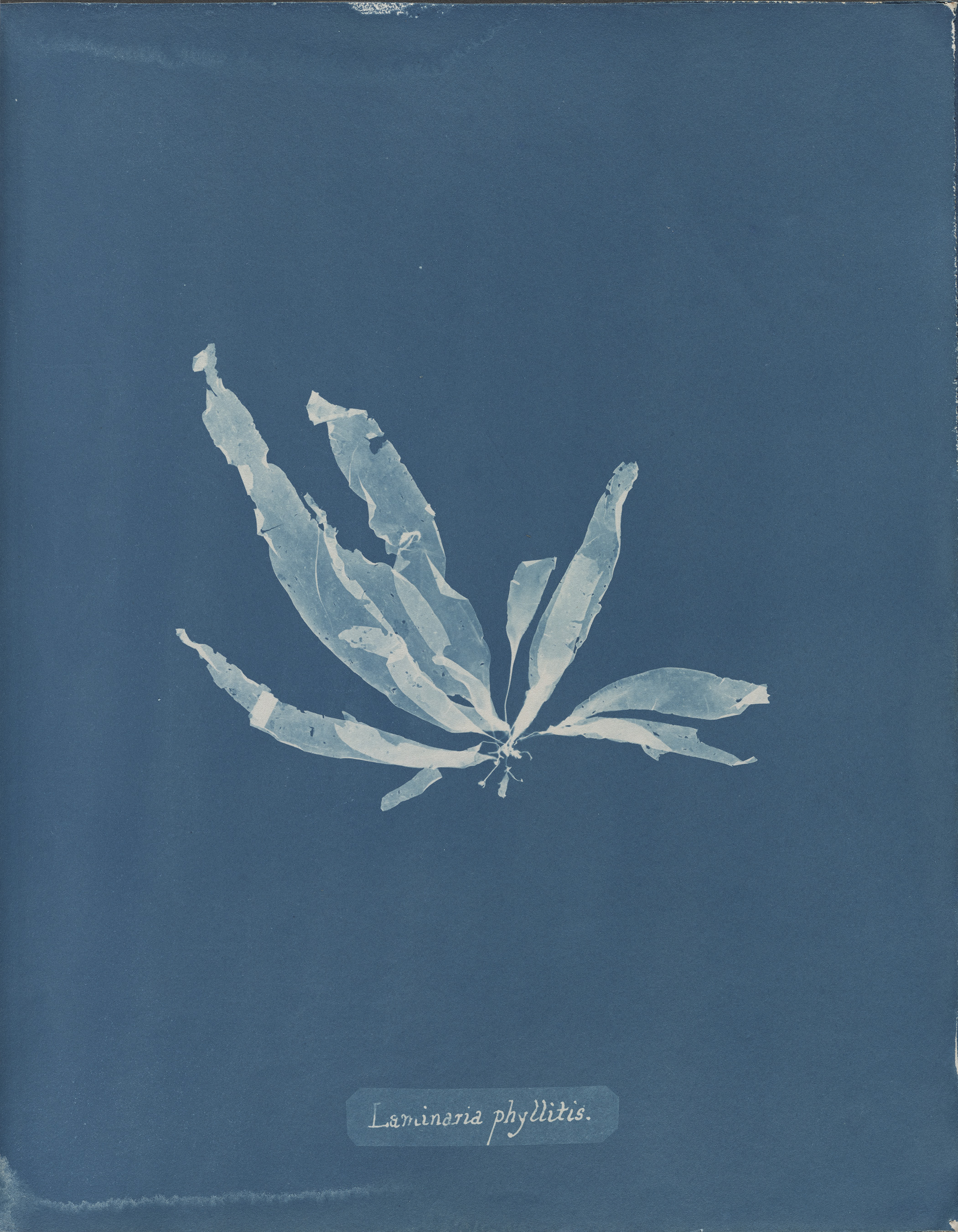 © Anna Atkins (1799–1871), Laminaria phyllitis, from Part V of Photographs of British Algae_ Cyanotype Impressions, 1844-1845, cyanotype. Spencer Collection, The New York Public Library, Astor, Lenox and Tilden Foundations.jpg