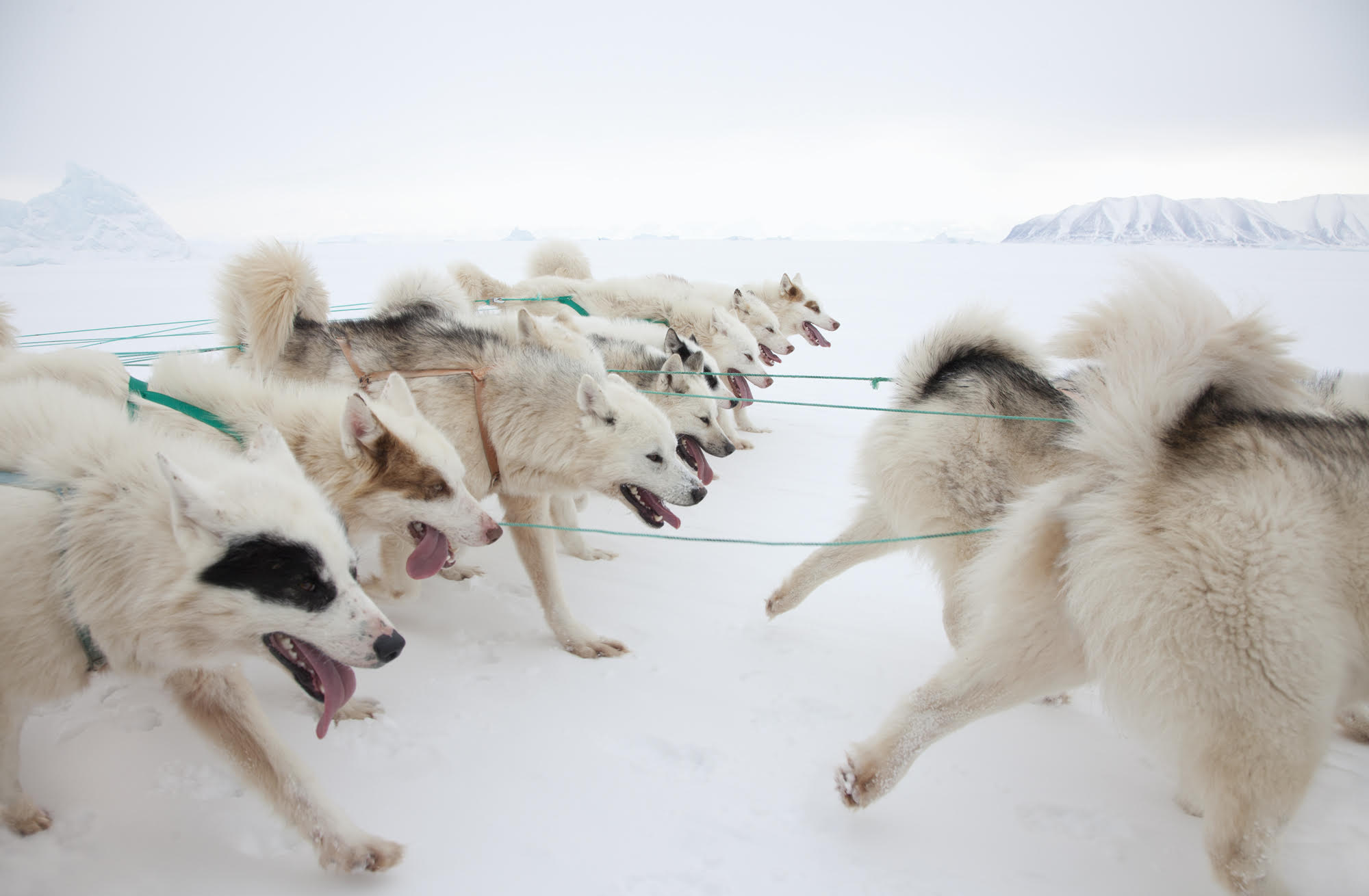 """""""Dogs Team"""" © Corina Gamma,  Greenlandic Sled Dog Team , Avannaa, Greenland 2015  A sled team can be up to 13 dogs. Greenlandic sled dogs are of a unique breed that only exists in Greenland north of the Arctic Circle. No other dog breeds are allowed north of the Arctic Circle in Greenland, to keep the breed pure."""