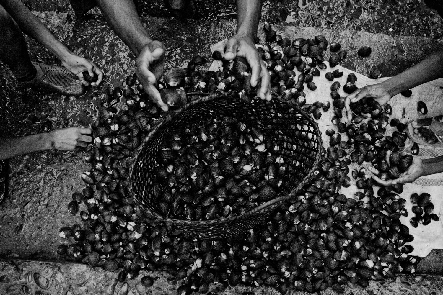Even though shells are a culinary delicacy in Ecuador, shell pickers are only paid 8 cents of a dollar per shell. On average, pickers will find 100 shells in a day´s work. San Lorenzo, Ecuador. 2010