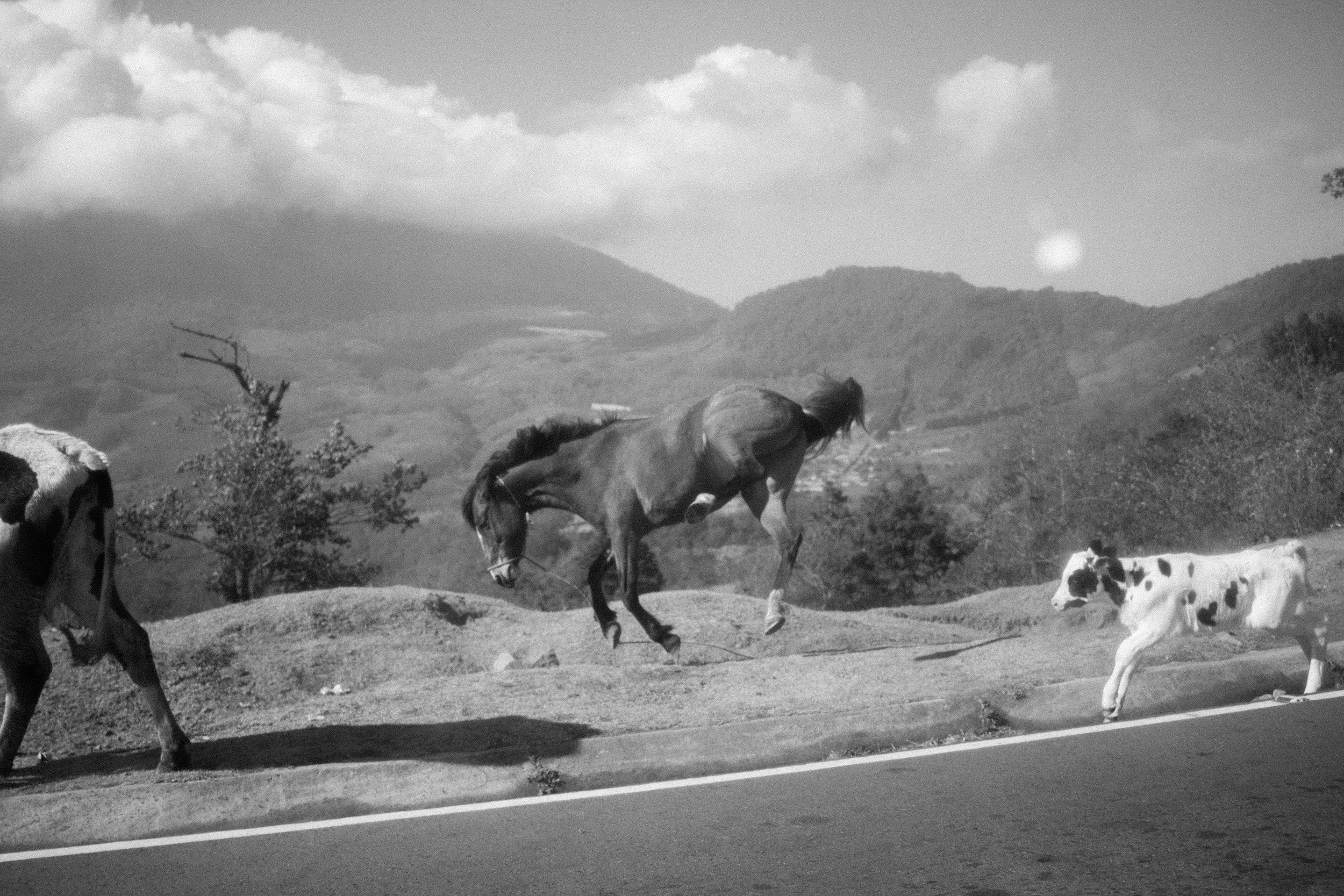 An unbroken horse kicks his hind legs into the air alongside a mountain road to the village of Campmento, near San Andrés Itzapa, Guatemala. Horses and donkeys are an essential tool tot he highland way of life, from transportation, to transporting crops and firewood often long distances on rough terrain. © Cory Zimmerman, Assade NGO