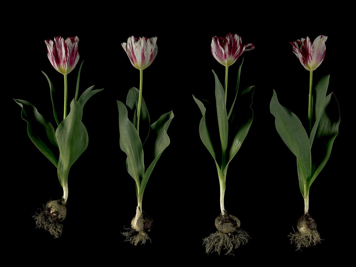Broken Tulips