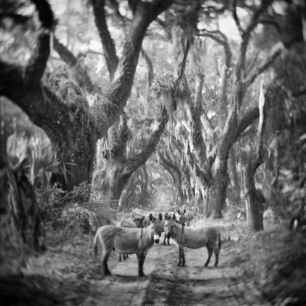 Donkeys at the Welcome Tree, Ossabaw Island, 2017 © Anne Berry