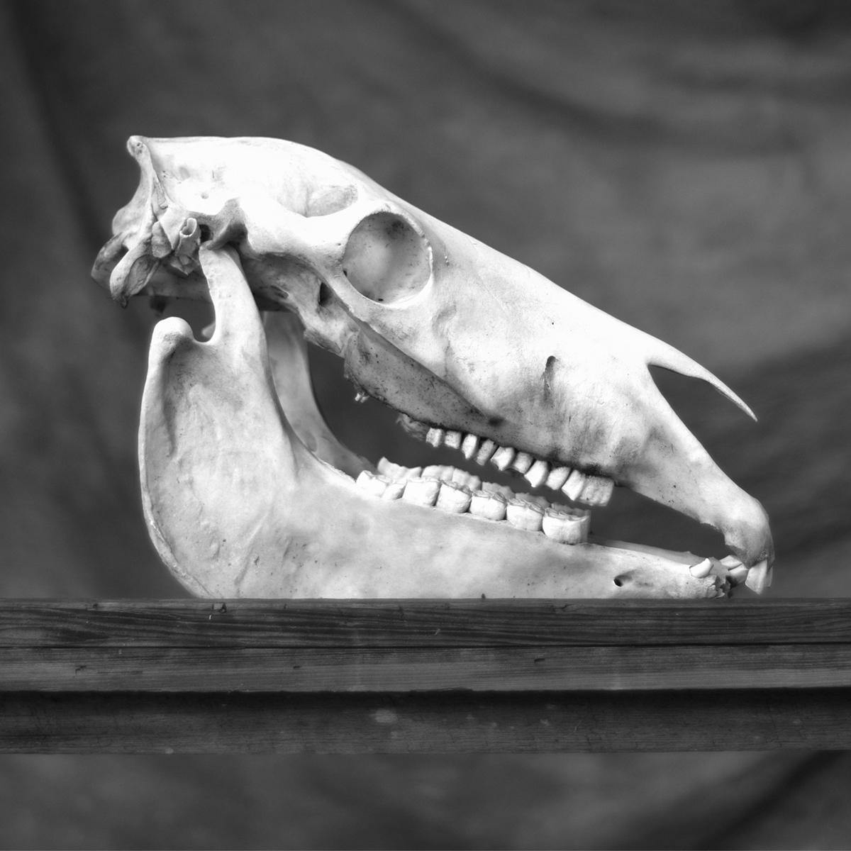 Skull of a Horse, Cumberland Island, 2018 © Anne Berry