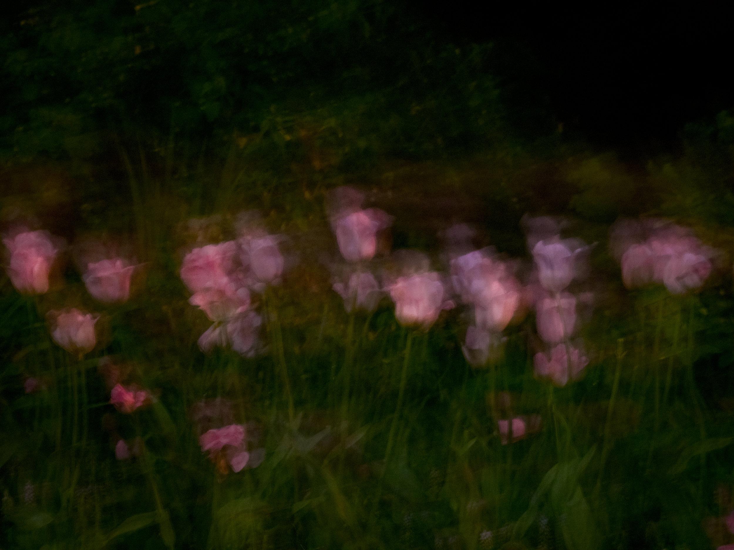 Midnight in the Garden #77 (May, Jefferson Market Garden) © Anna Beeke