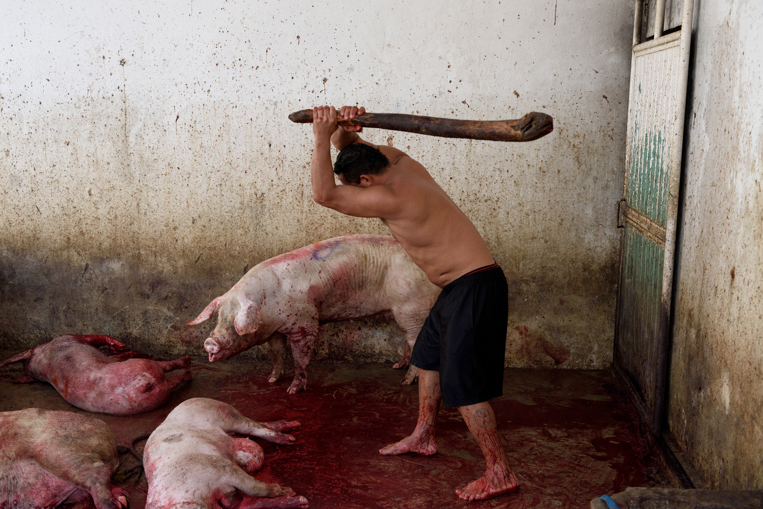 A worker beats some pigs with a club in order to immobilize them and facilitate the slaughter by throat slitting.. Chiapas, 2017. © Aitor Garmendia
