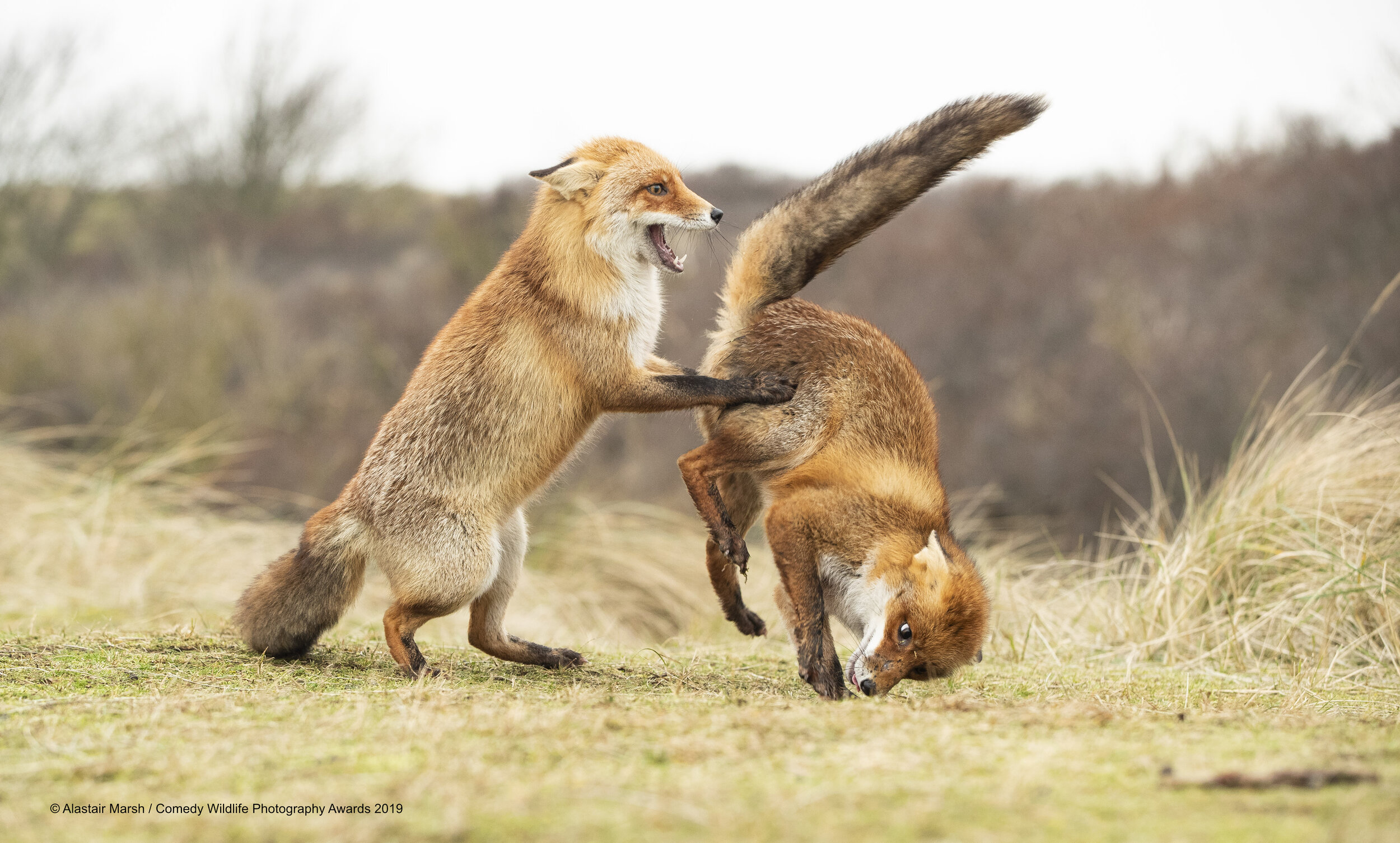 'Waltz Gone Wrong' by Alistair Marsh ©. Courtesy of Comedy Wildlife Photography Awards.