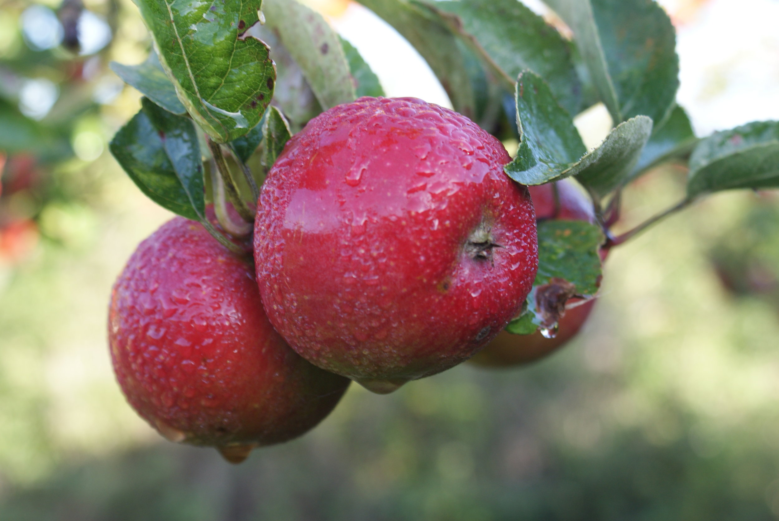 Apples ready to be harvested in the orchard.