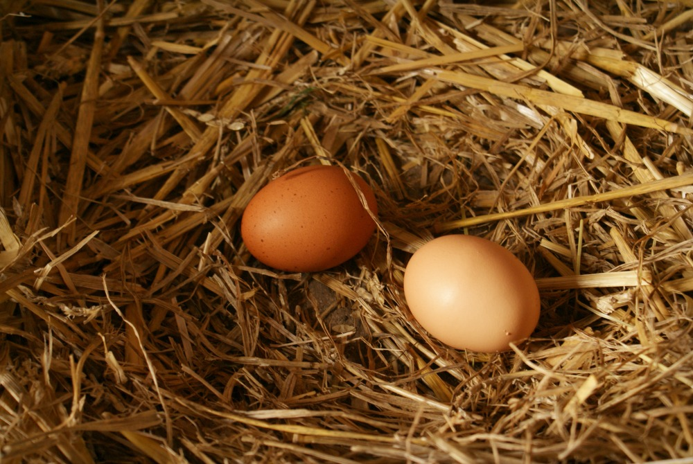 Collecting chicken eggs.