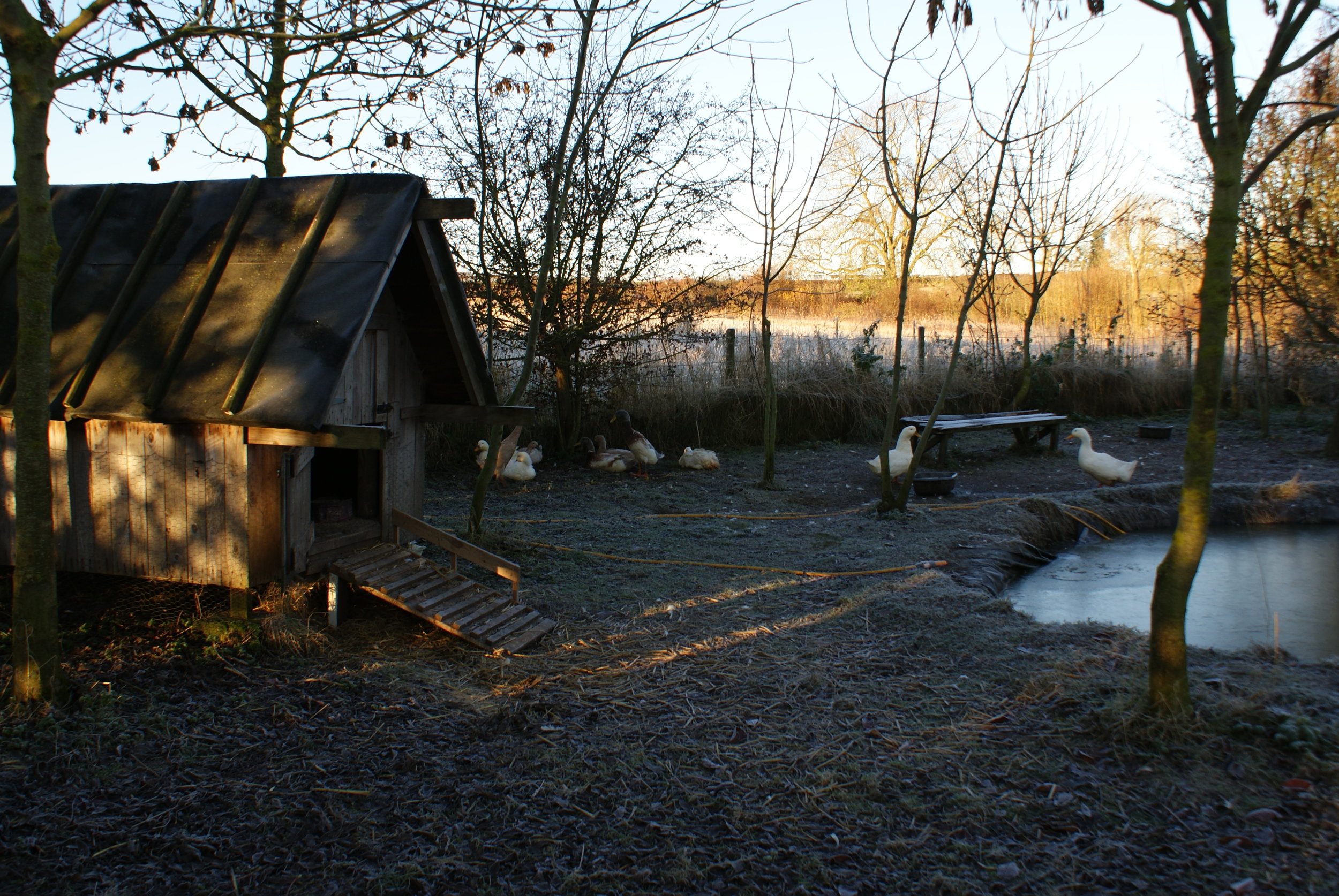 The main duck house and pond first thing in the morning.