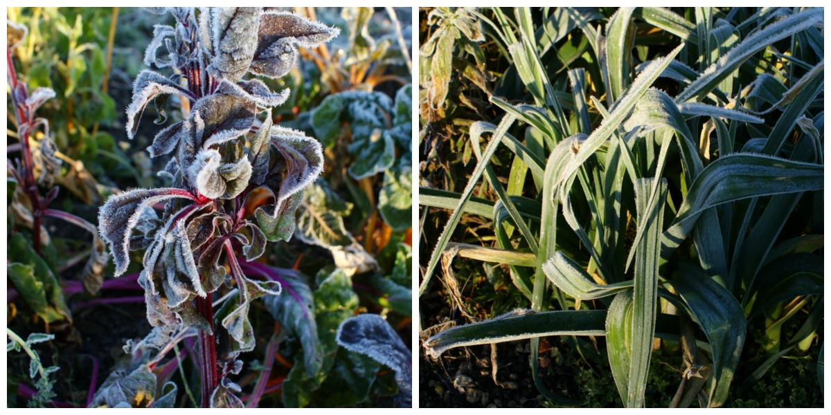 Chard and leeks are two of our staple winter vegetables.
