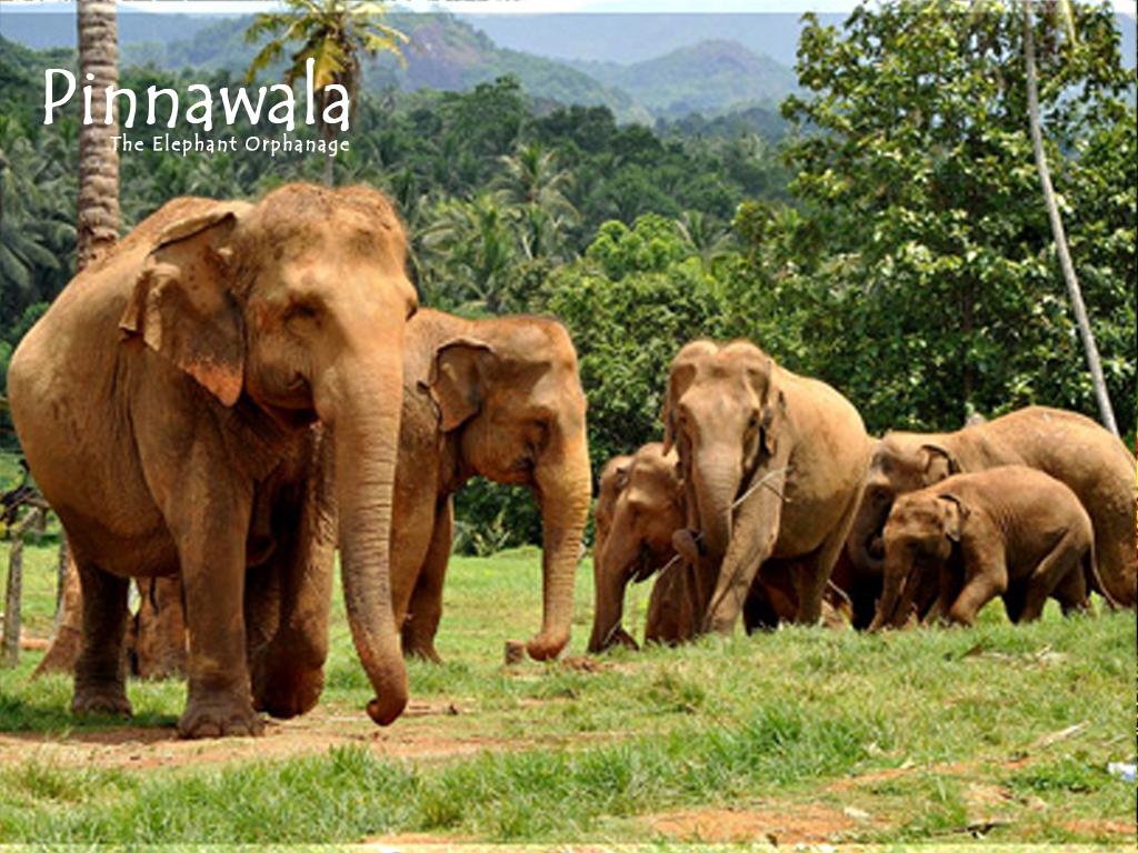 PINNAWALA ELEPHANT ORPHANAGE - (PHOTO COURTESY OF LUMINI TRAVEL)