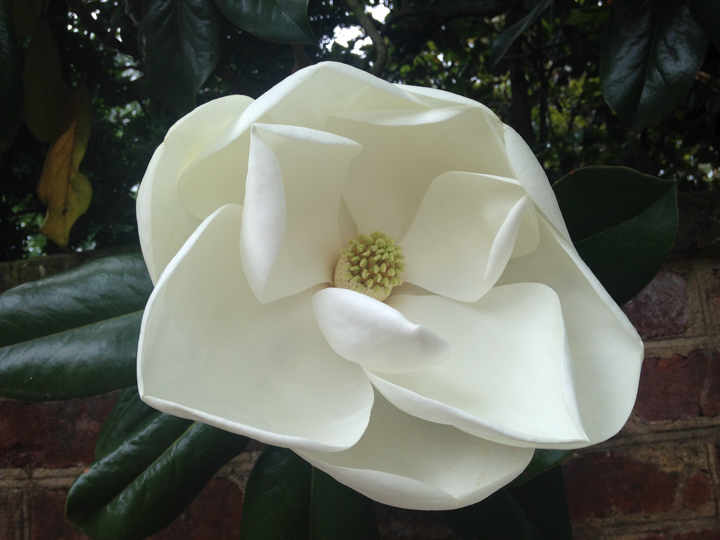 A MAGNOLIA IN FULL BLOOM ON THE UNIVERSITY GROUNDS