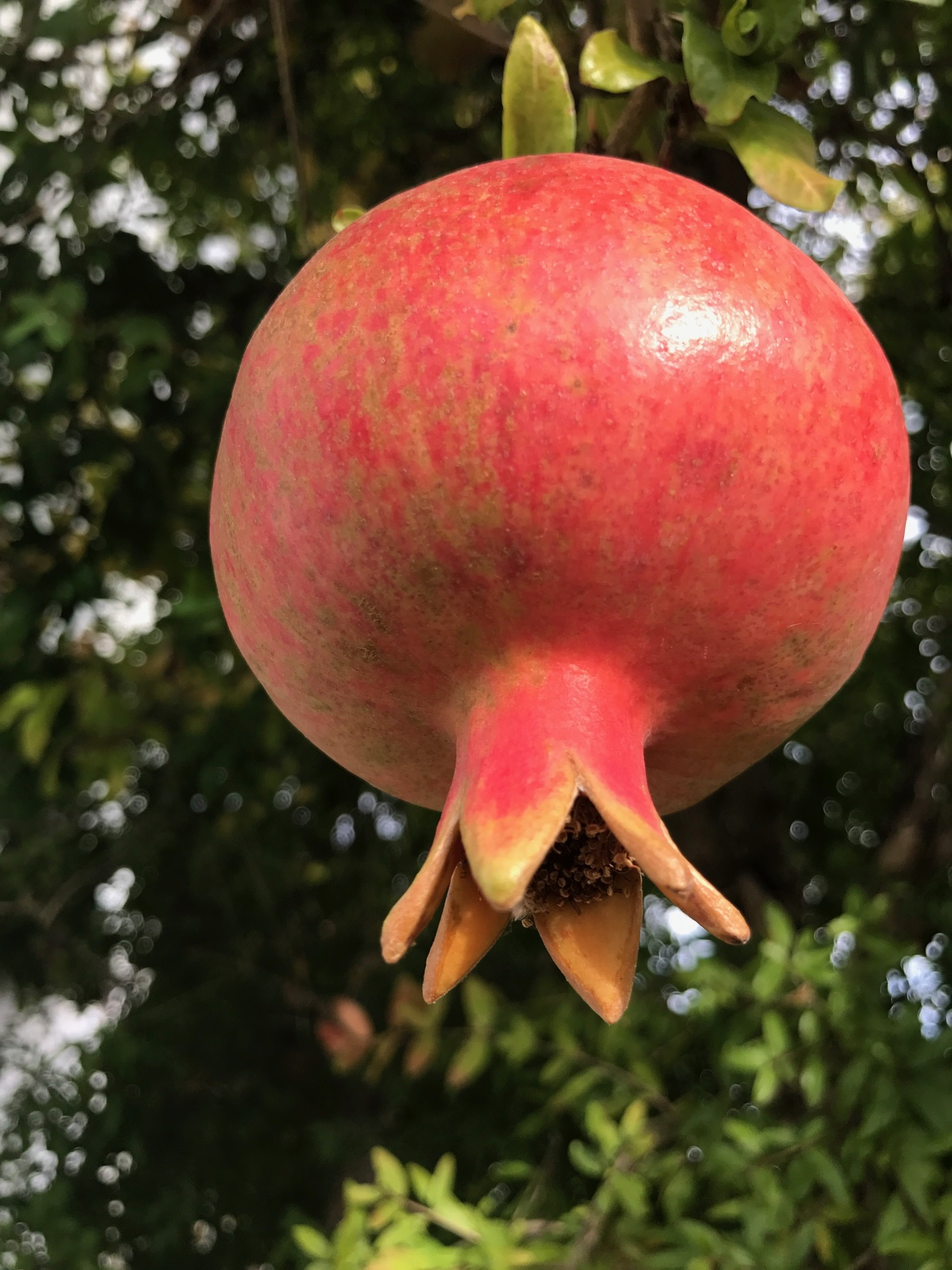 Sonoma, Pomegranate