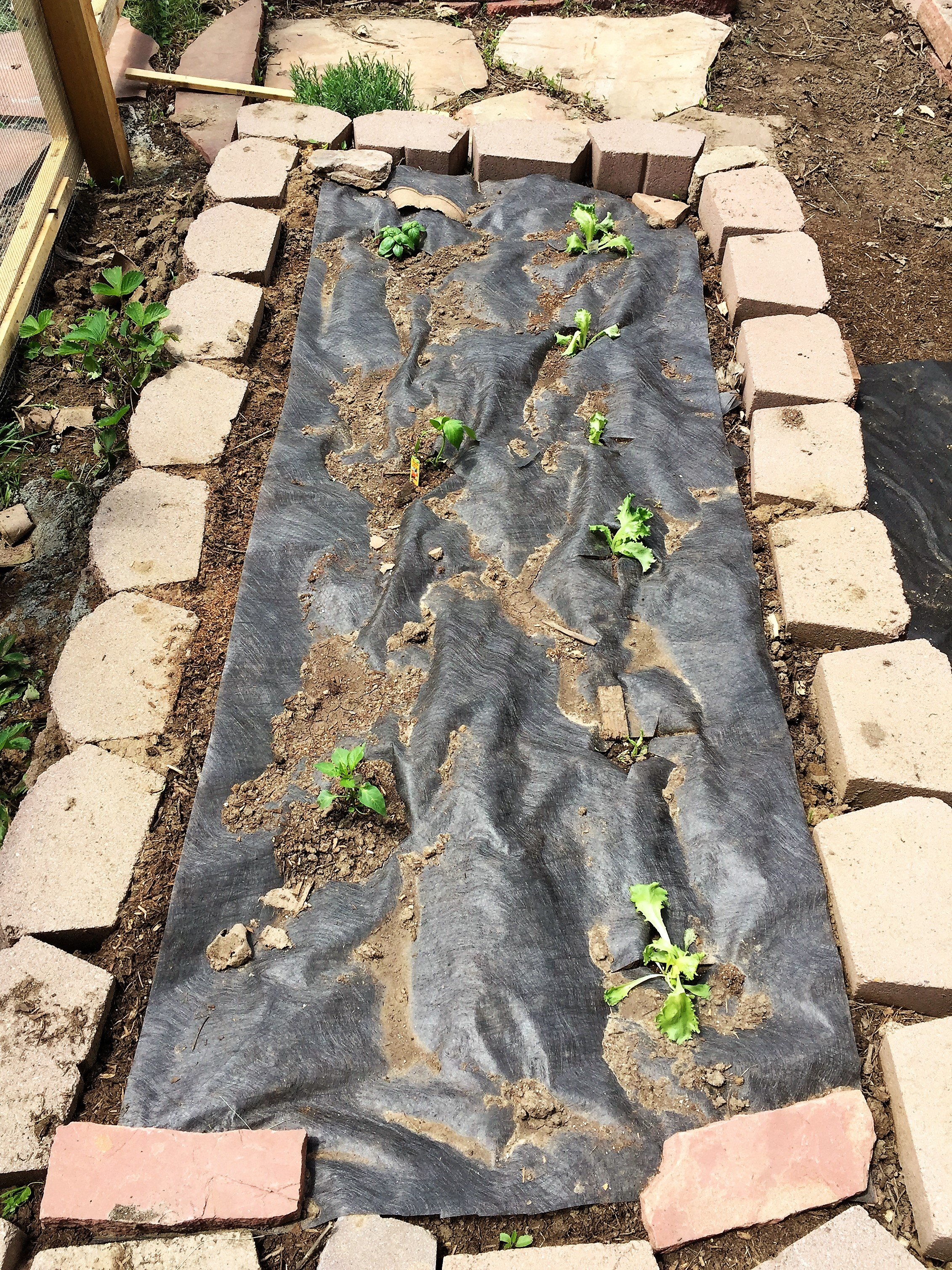 Lettuce, basil and peppers.
