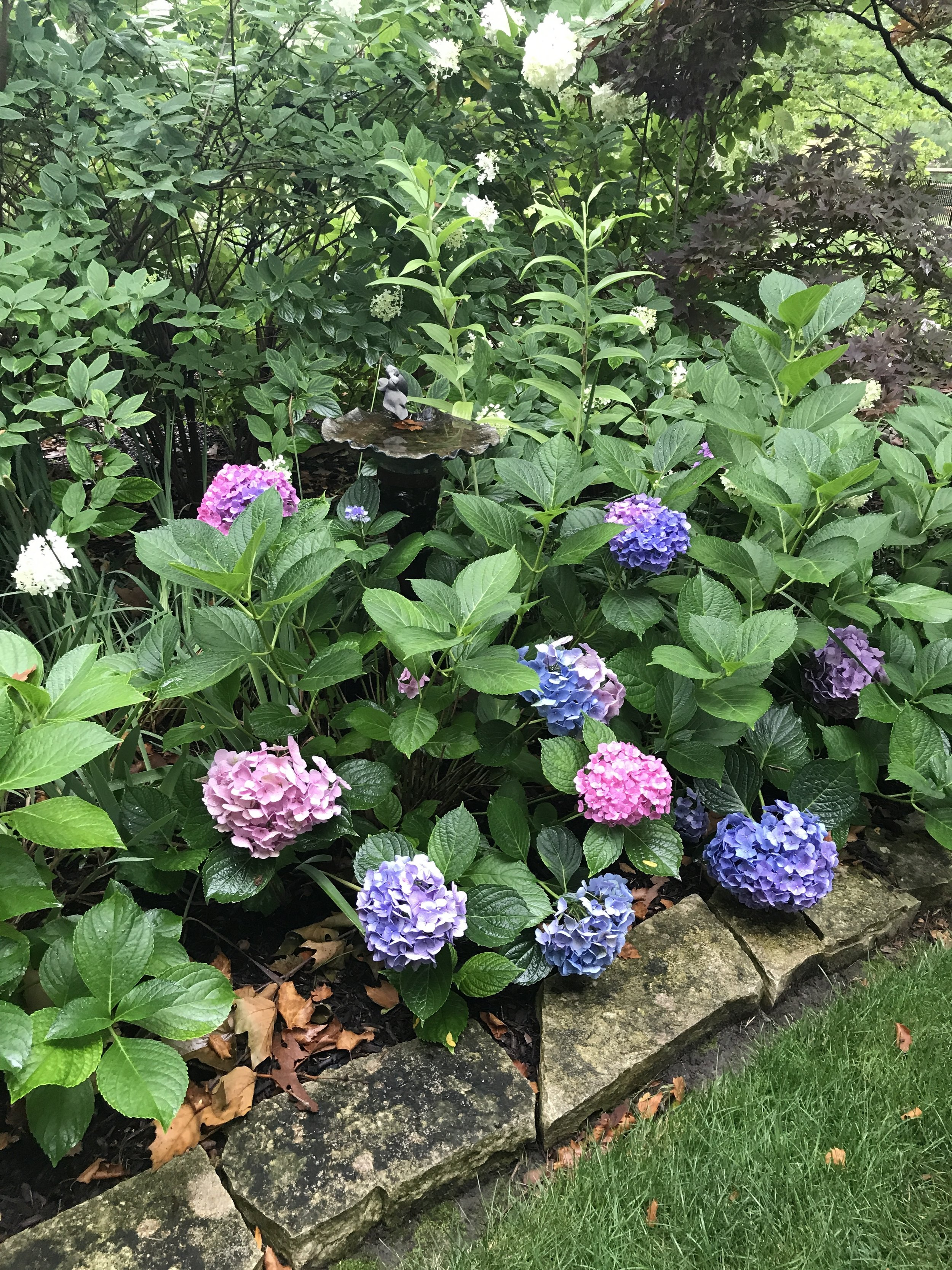 This colorful hydrangea bush looks great in the flower bed and in flower arrangements you can bring inside