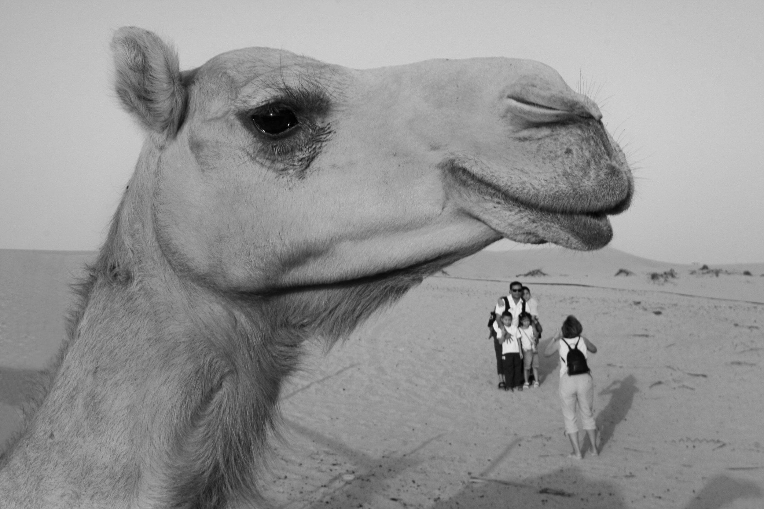 uae_camel.jpg