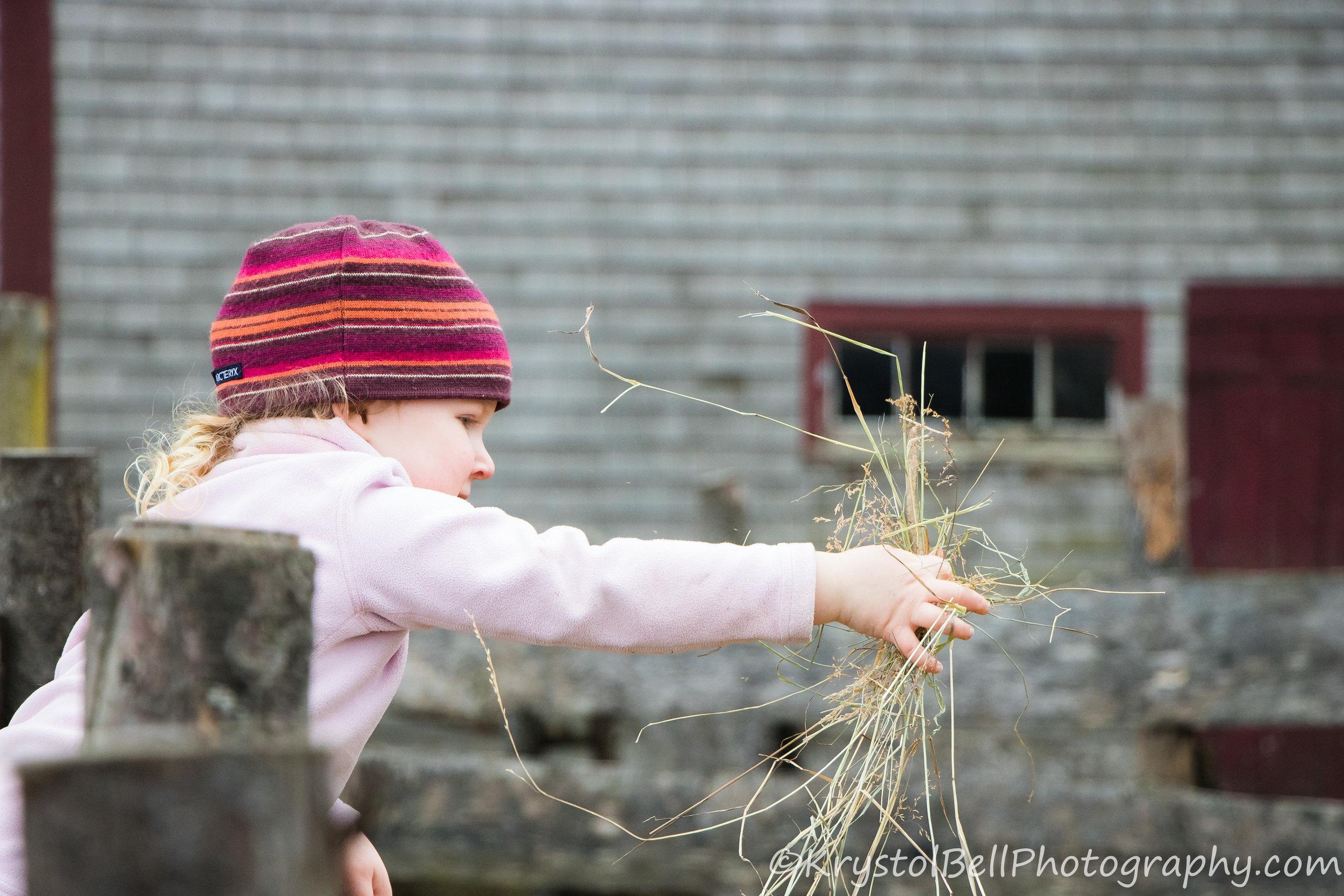 Braegha feeding the sheep.