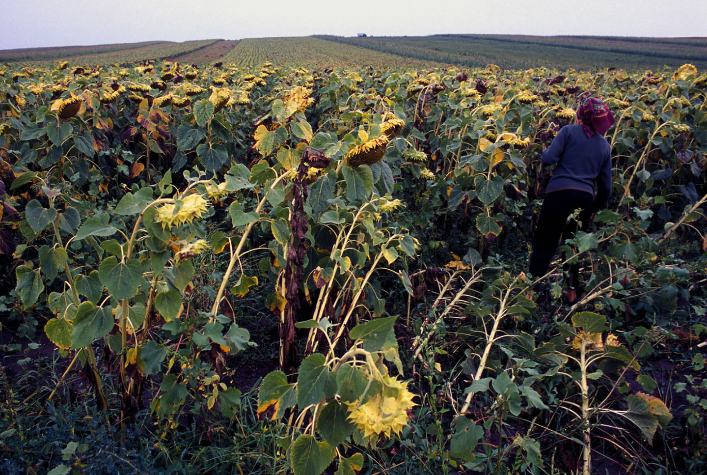 """The mother of a trafficked girl in a field of sunflowers. From """"The Price of Sex"""" reportage."""