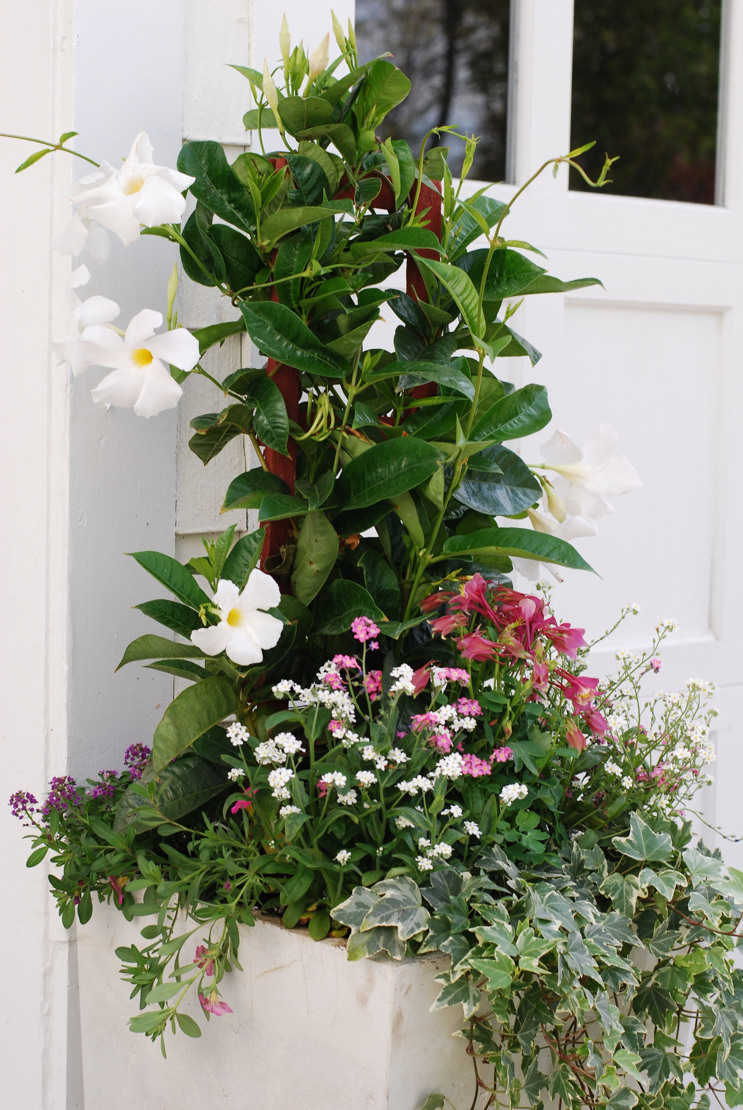 Tall container with mandevilla, forget-me-nots and columbine.