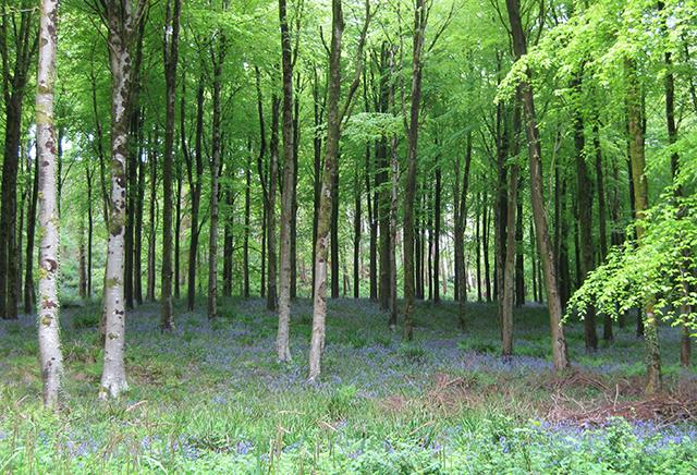 Hooke-Park-forest-beech-bluebells-dorest-architect-bizley