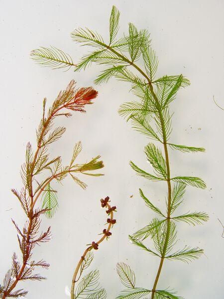 myriophyllum-spicatum-dcameron.jpg