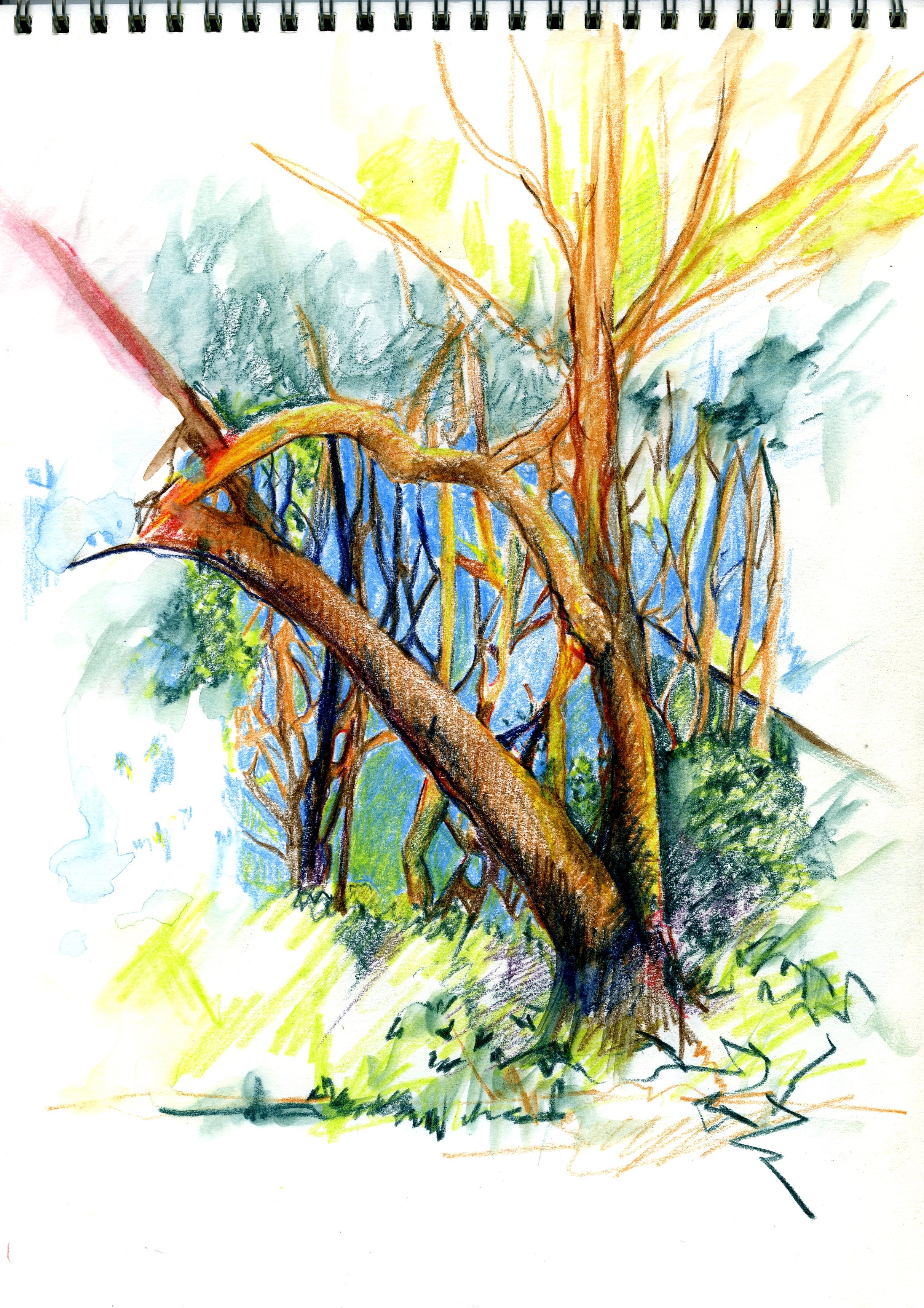 RAINFOREST, NSW: coloured pencil on paper