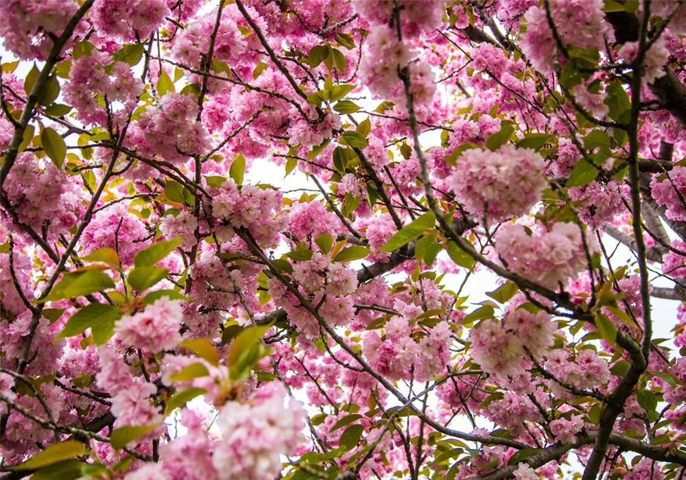 lindsay_michelle_cherry_blossom_brooklyn2.jpg