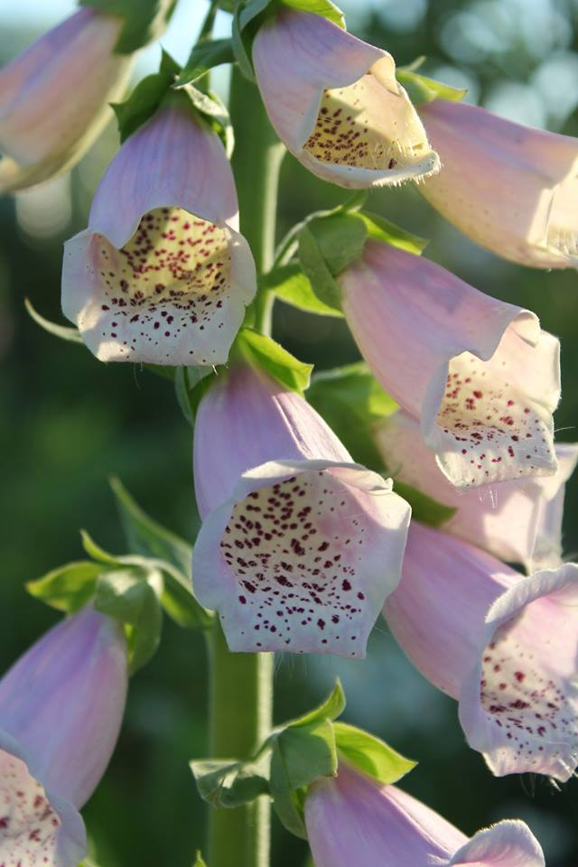 digitalis purpurea garden hybrid, Nova Scotia