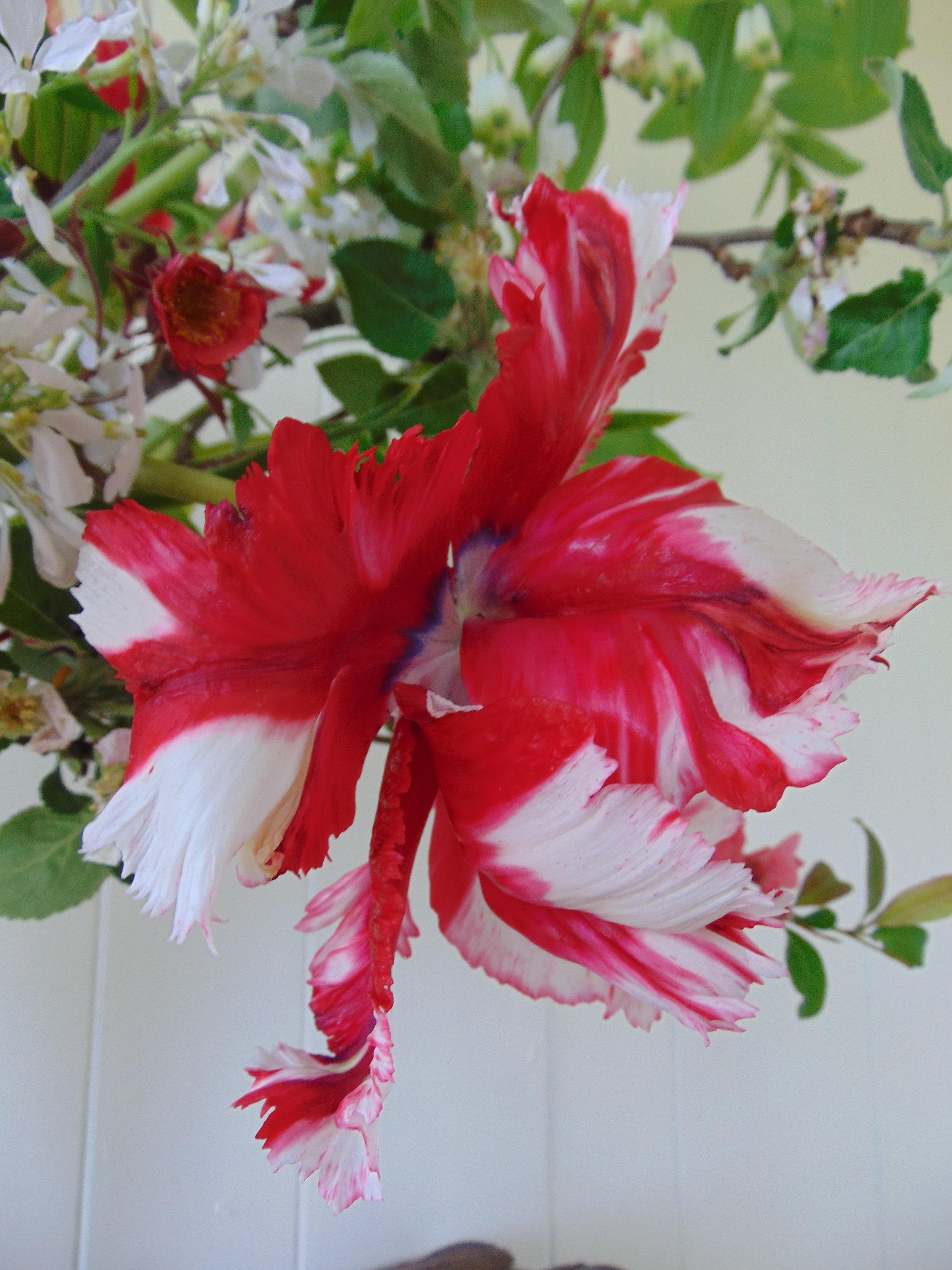 Tulipa 'Estella Rynvald' grown by Hedgerow Flower Company, Nova Scotia