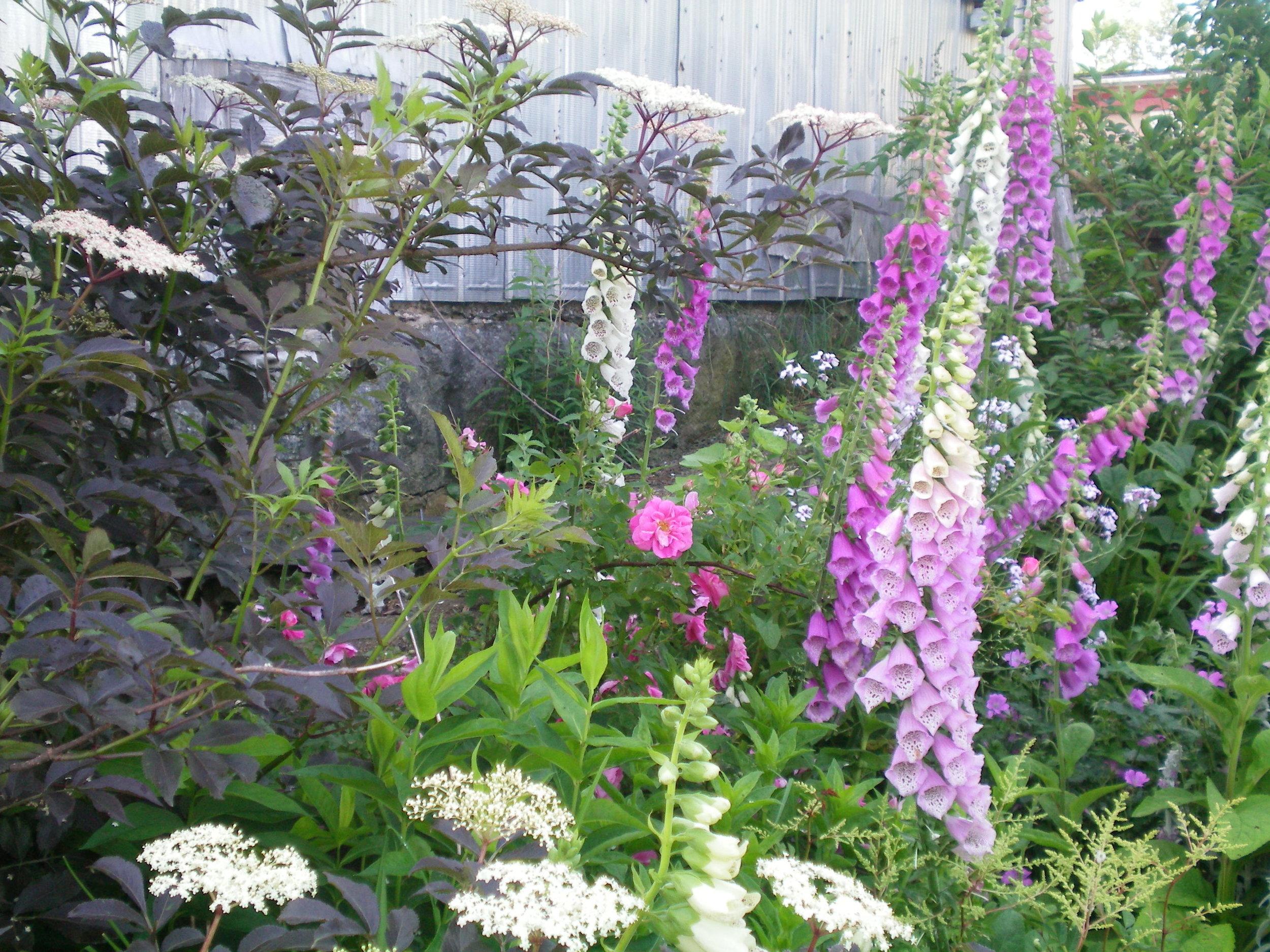 Hedgerow's cottage garden, Nova Scotia