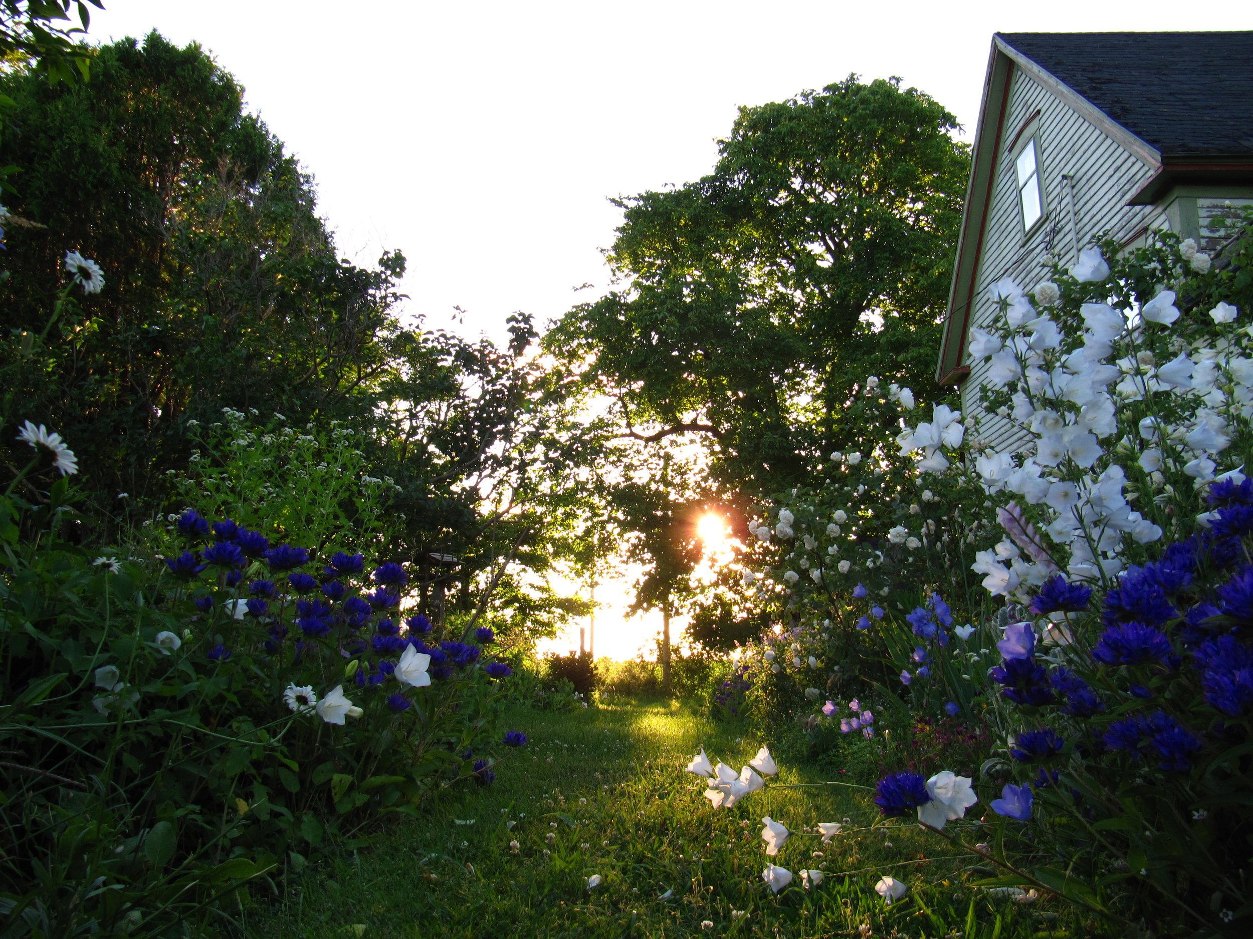 Hedgerow's summer flower garden. July in Nova Scotia.