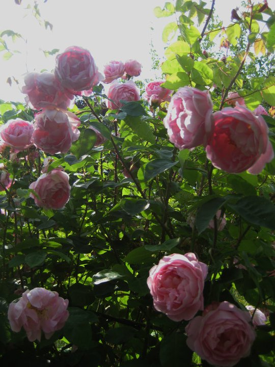Rosa x Centifolia in full bloom. Hedgerow, Nova Scotia