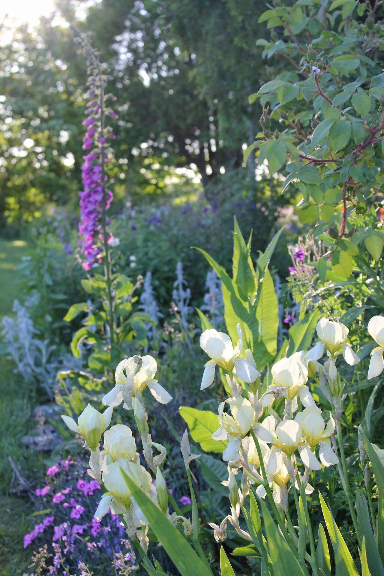 Hedgerow's garden in June. Nova Scotian cottage garden.