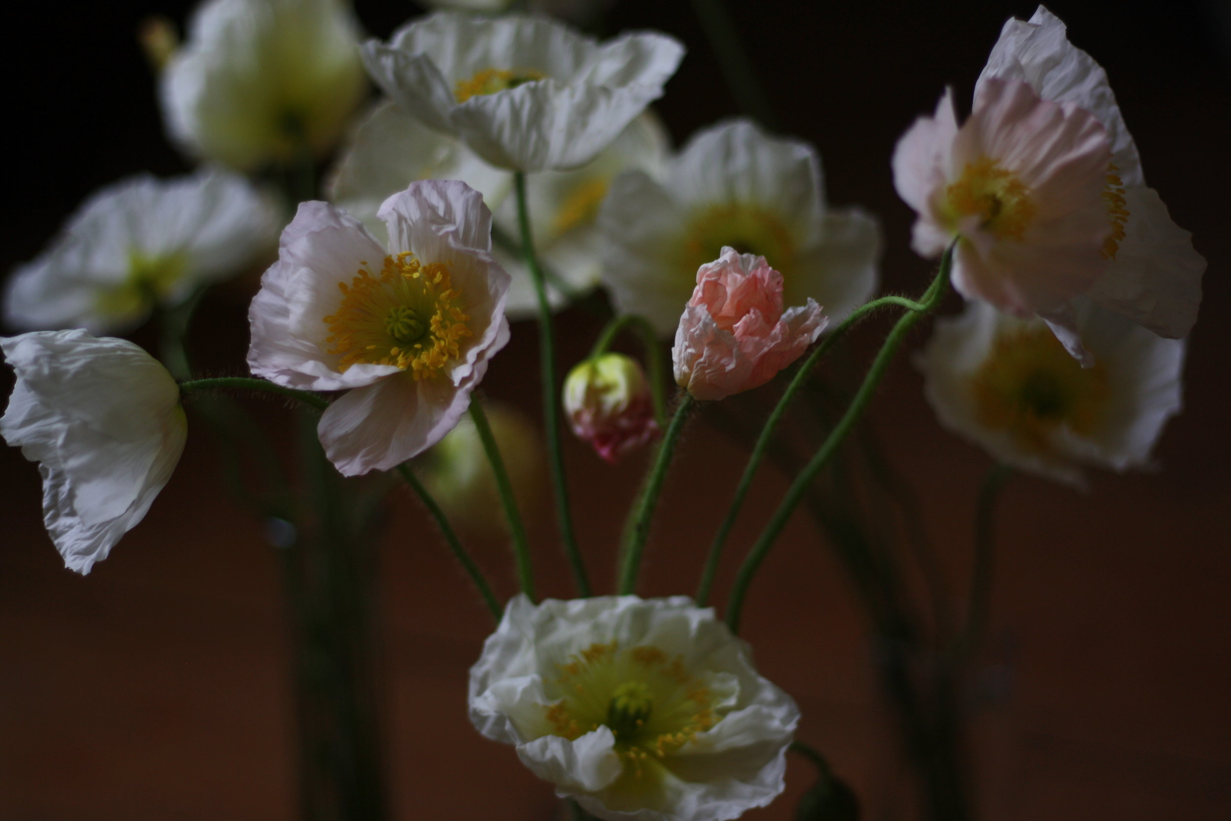Blush Iceland poppies. A wedding flower favourite grown organically by Hedgerow in Nova Scotia.