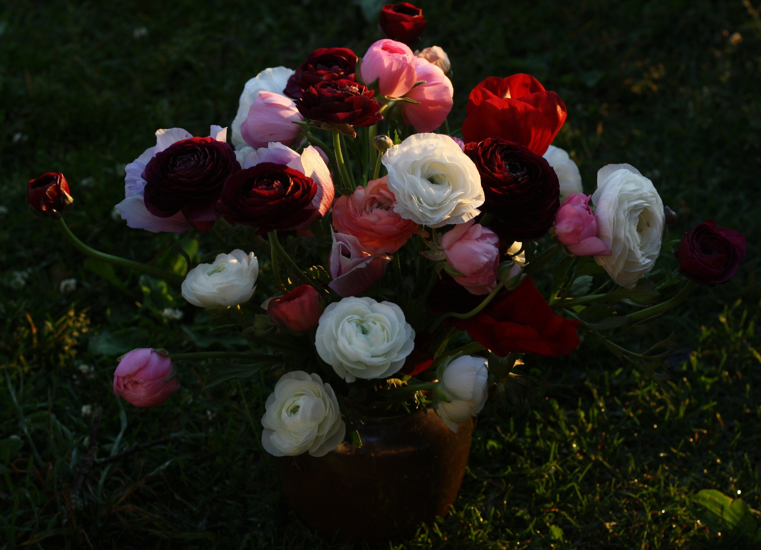 biancheri ranunculus and anemones grown in Nova Scotia by Hedgerow Flower Company.