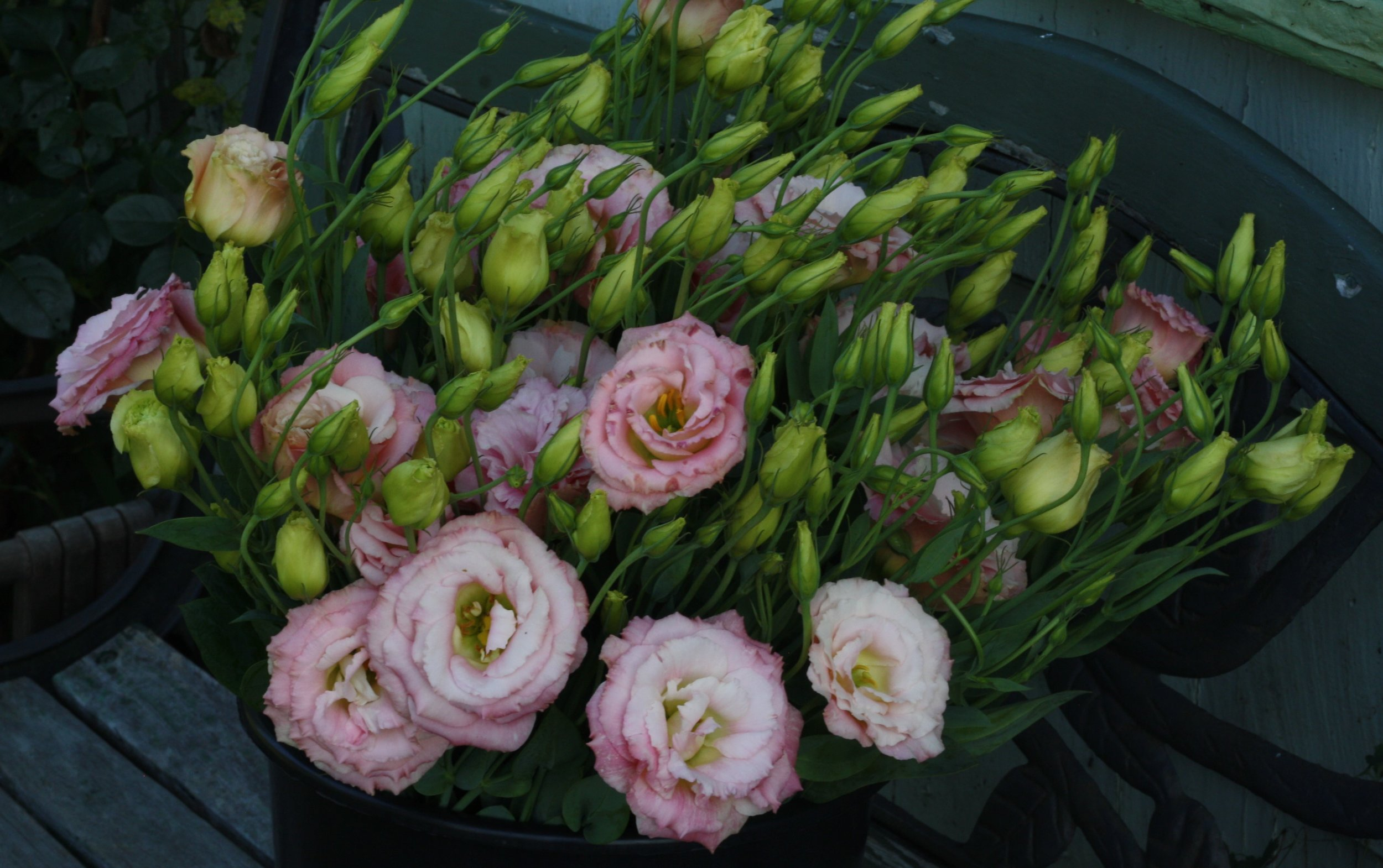 lisianthus 'Echo champagne' grown by Hedgerow Flower Company in Nova Scotia.