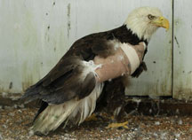 Bald Eagle recovering