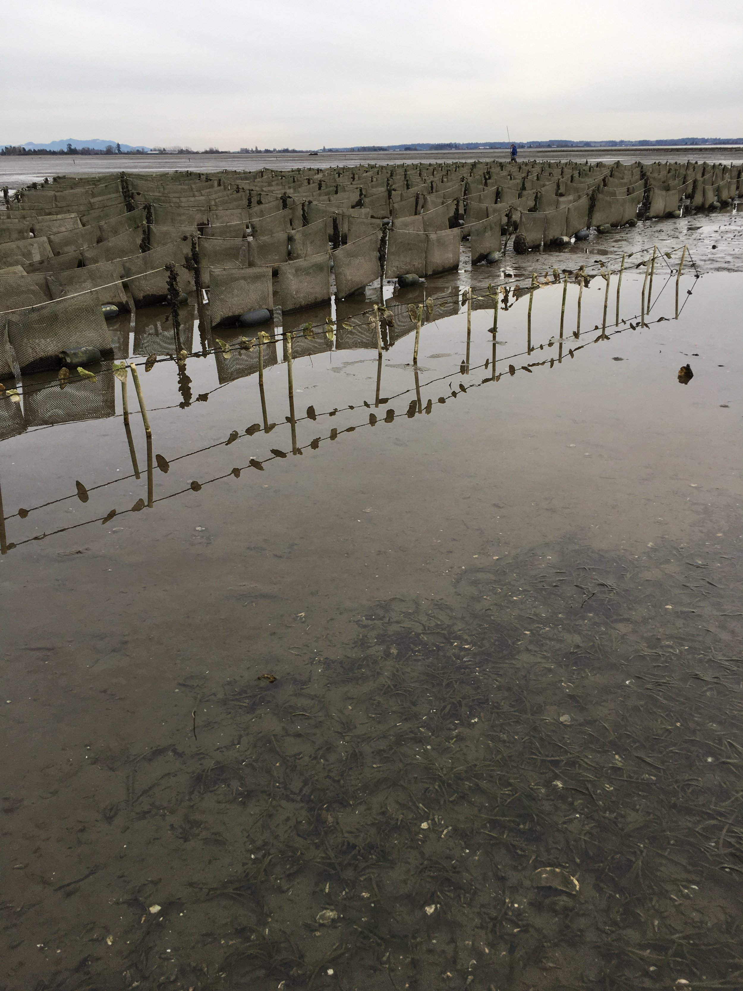 "The foreground is a demo of a ""long line"" Pacific oyster seed grown on old shells strung up on a line up above the muddy ocean floor. Behind you can see the tidal flip bags for the Shigokus."
