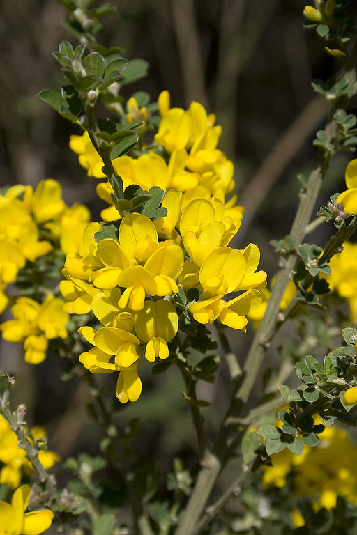 The French Broom ( Genista monspessulana ) shrub found in  Oakland, California . In France, it is known as the  planta genista . By Calibas (Own work) [ GFDL  or  CC BY-SA 4.0-3.0-2.5-2.0-1.0 ], via Wikimedia Commons.