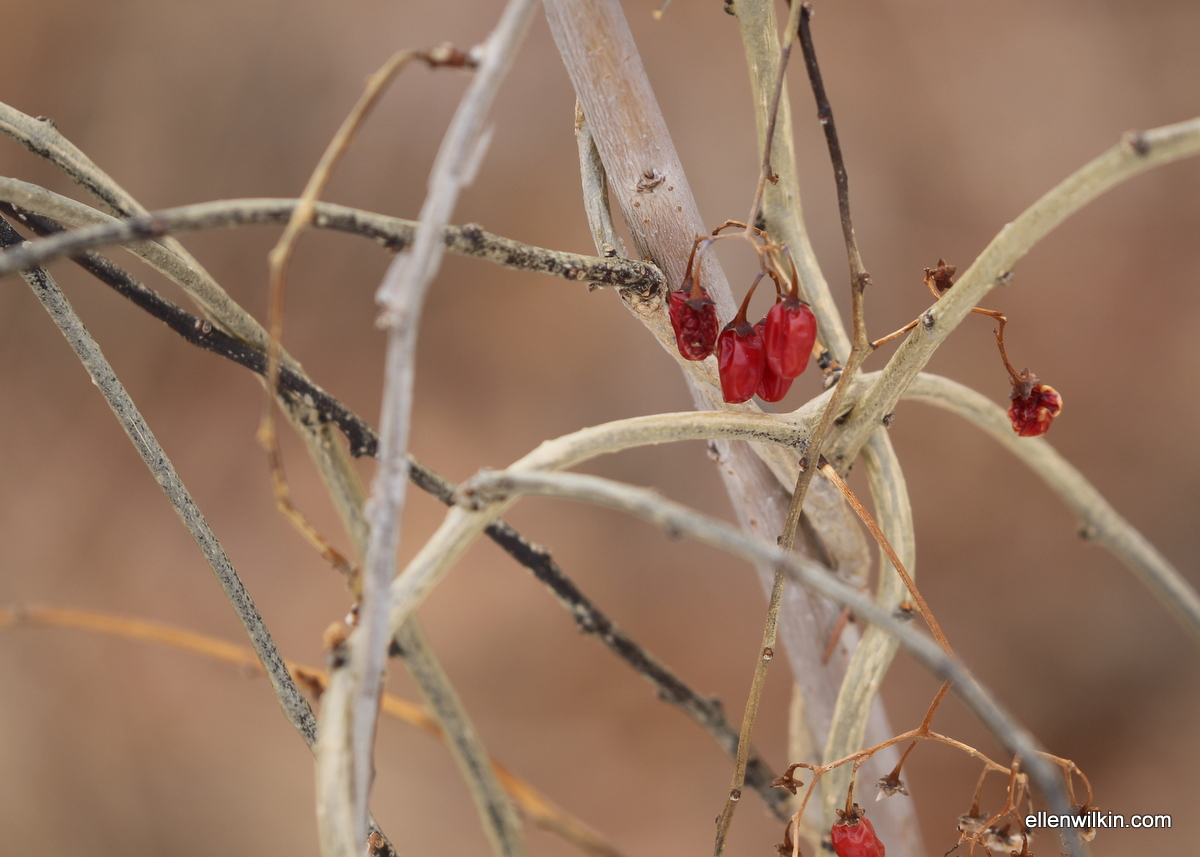 Wild Berries and Vines along Dry Creek