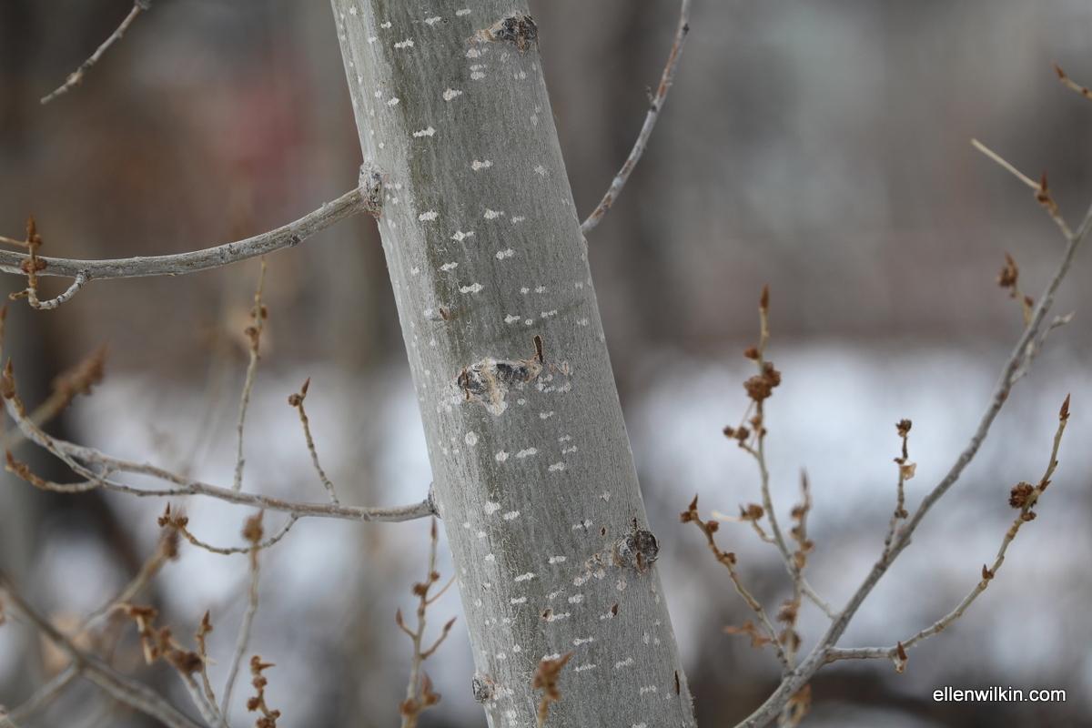 Speckled Tree Bark Along Dry Creek