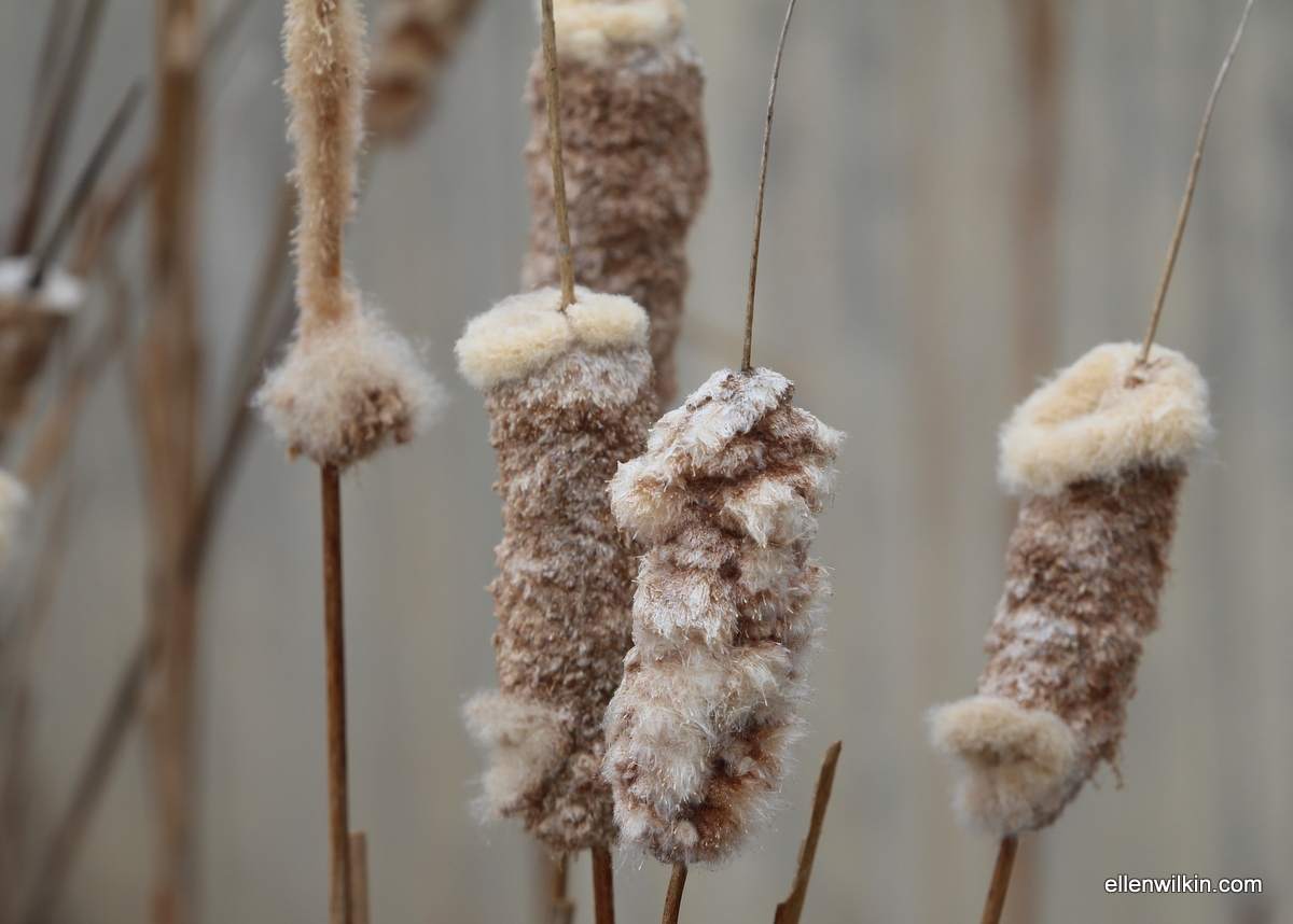 Remains of Cattails, Dry Creek