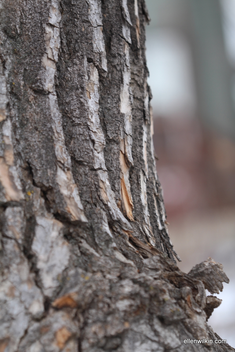 Swooping Craggy Tree Bark Along Dry Creek