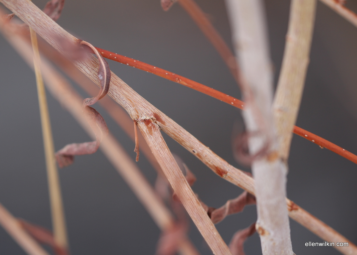 Red, White, and Pink Willow Branches Along Dry Creek