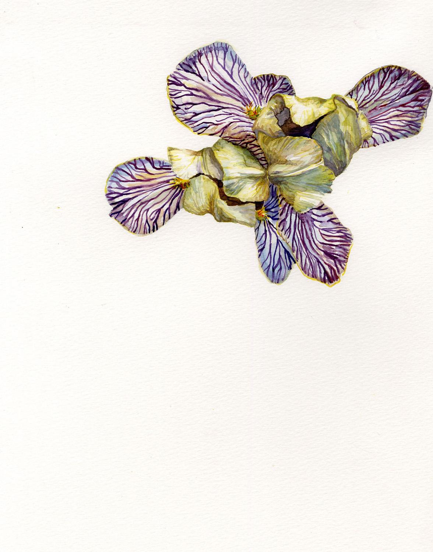 Zebra Irises